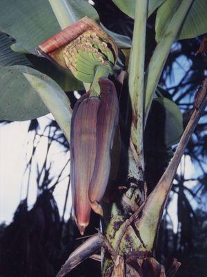 【バナナの花 その2】