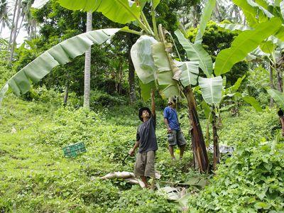 【バナナの収穫】