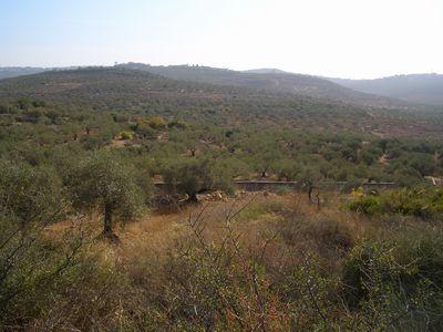 あたり一面にオリーブ畑が広がっています