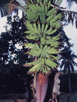 【バナナの花 その4】