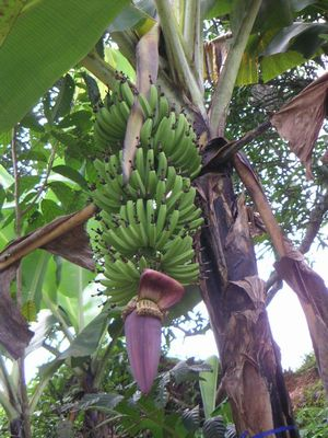 【バナナの花 その5】