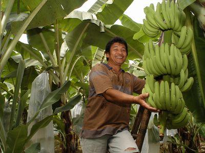 【バナナの実】